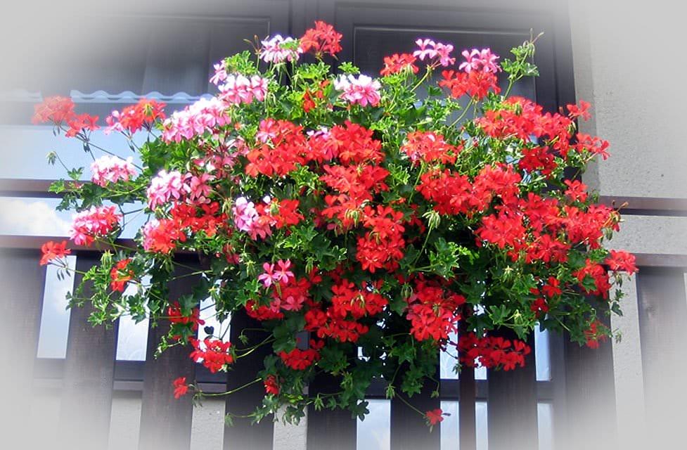 Ампельні рослини фото