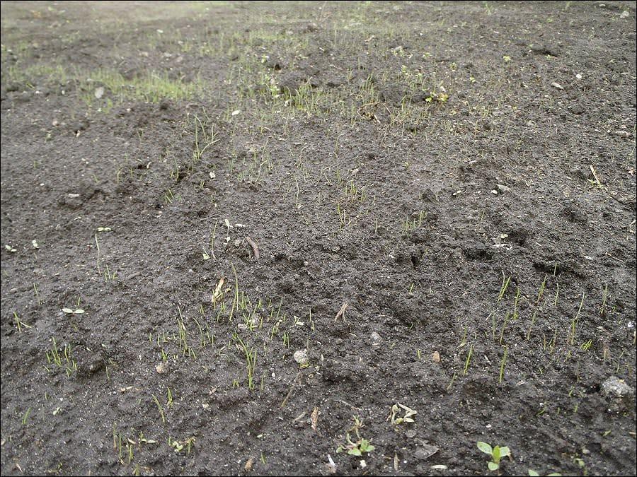 Как сажать семена травы для газона 90