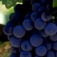 Вирощування винограду: правильна обрізка, садіння, підживлення і догляд.