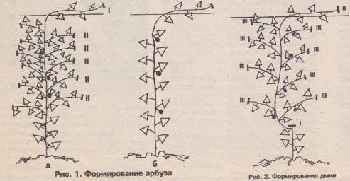 Выращивание дыни в сибири в теплице 88