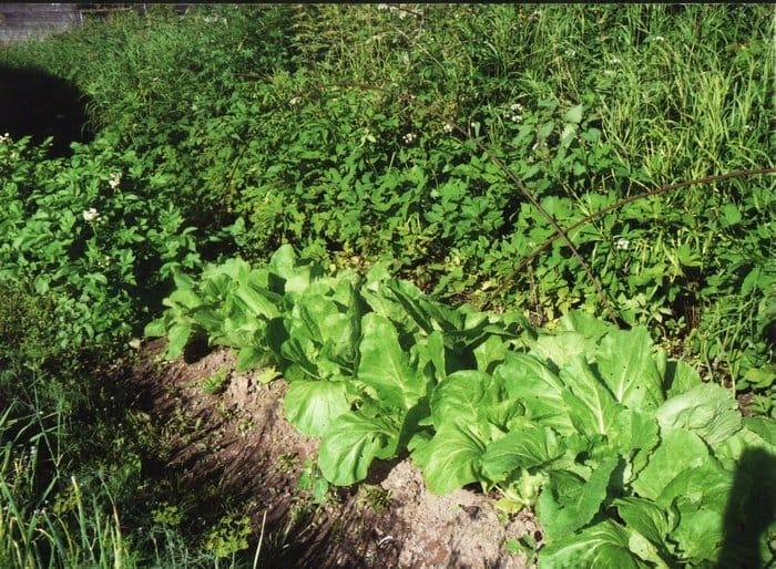 Выращивание пекинской капусты на урале 77
