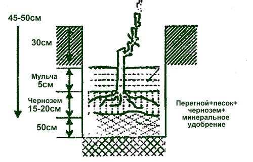 Как сажают виноград в сибири 417