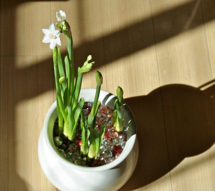 Цветок фрезии в домашних условиях