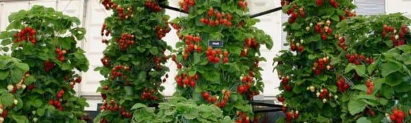 Выращивание и уход за вьющейся клубникой 528