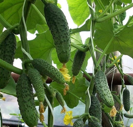 Огурцы для выращивания в сибири 449