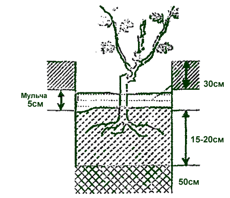Схема посадки винограда в средней полосе