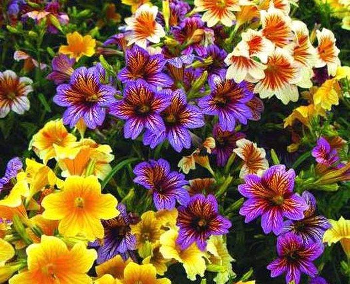 сумки цветы однолетники цветущие все лето картинки намётки рисунка, виде