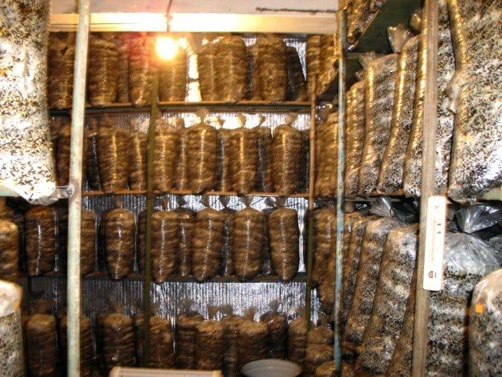Грибы вешенка выращивание в домашних условиях затраты и прибыль 52