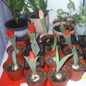 Как и когда сажать тюльпаны в горшках 27