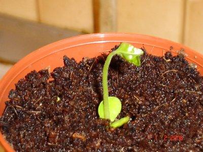 Родохитон выращивание их семян