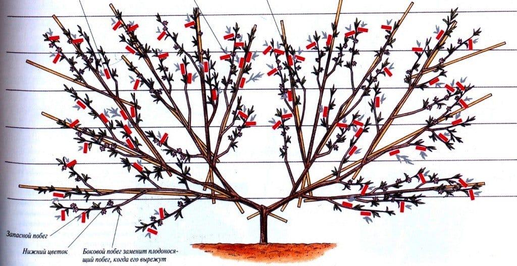 Схемы весенней обрезки абрикоса