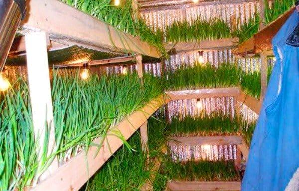Выращивание лука как бизнес рентабельность 60