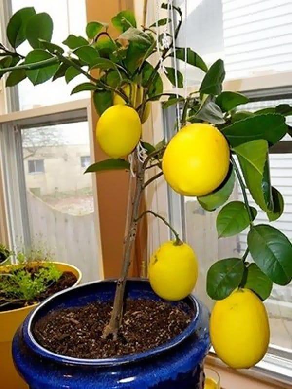 Растения лимоны выращивания уход 79