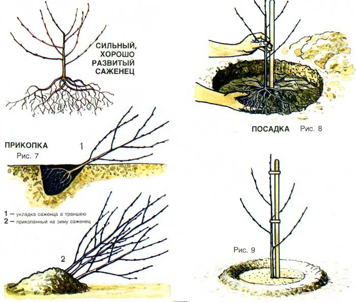 На каком расстоянии сажать вишню от вишни
