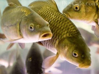Секрети розведення риб в штучних водоймах
