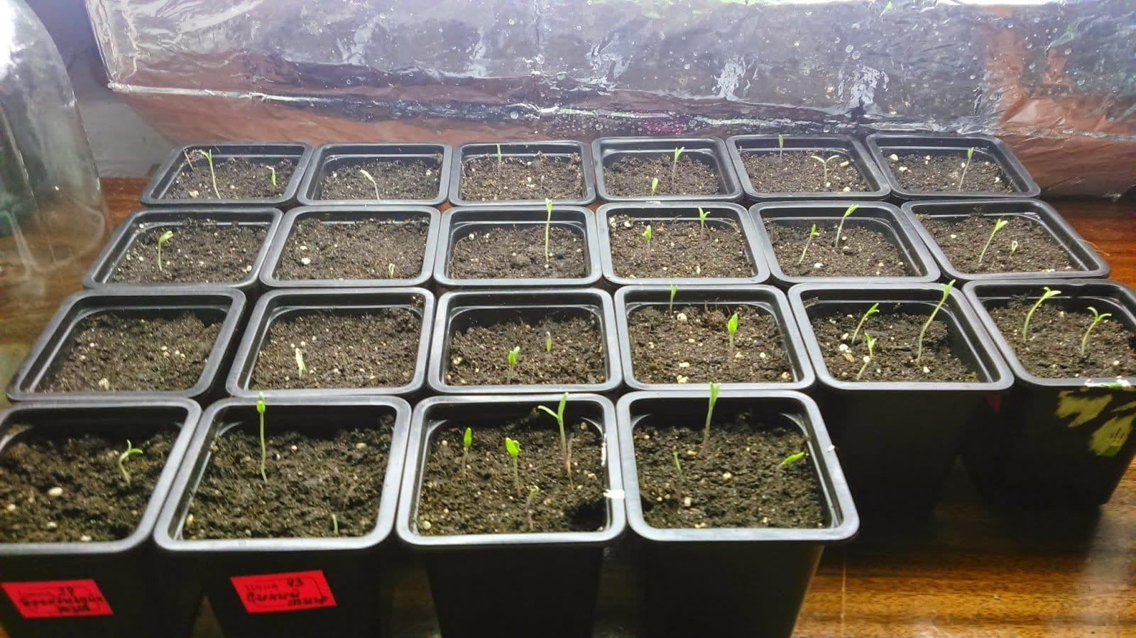 Посадка томатов семенами в открытый грунт Фермовед - животноводство и сад 30