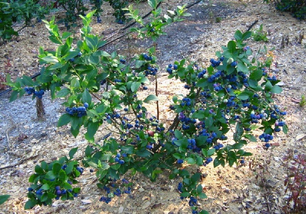 Сажать ягодные кустарники осенью 657