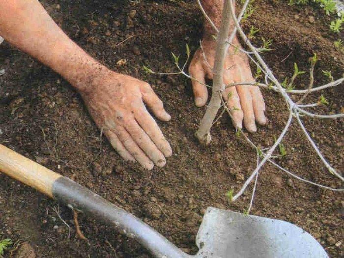 Сажать дерево в землю 702