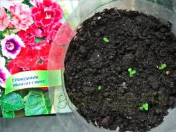 Глоксиния когда сажать семенами