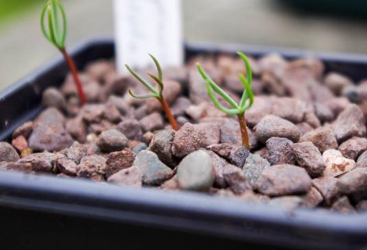 Домашний кипарис из семян в домашних условиях 763