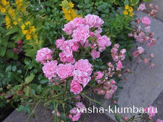 Полиантовые розы уход и выращивание 71