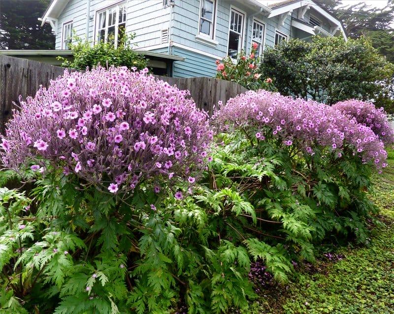 Герань садовая многолетняя сорта выращивание уход 56