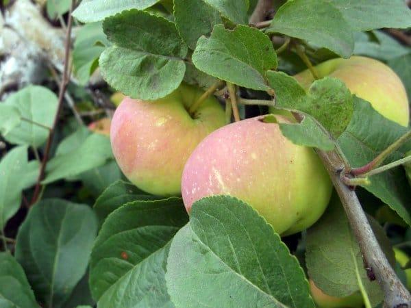 Яблоня подарок садоводам описание сорта фото отзывы 47