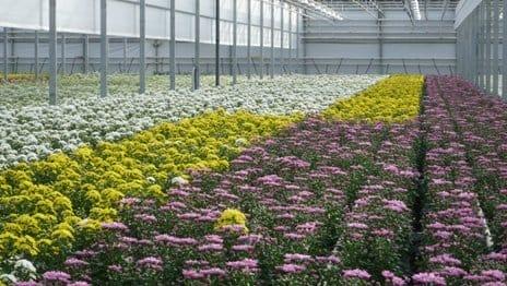 Выращивание хризантем в теплице 16