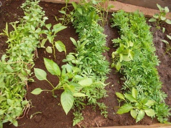 Какие овощи сажают вместе в теплице 38