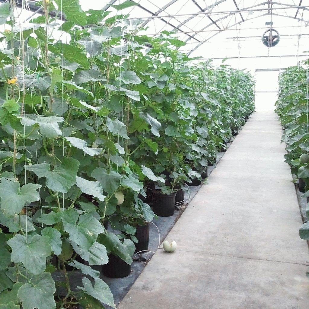 Когда и как сажать арбузы на рассаду 43
