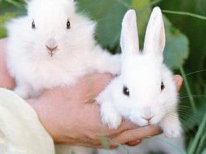 Як відрізнити самку від самця кролика: способи визначення