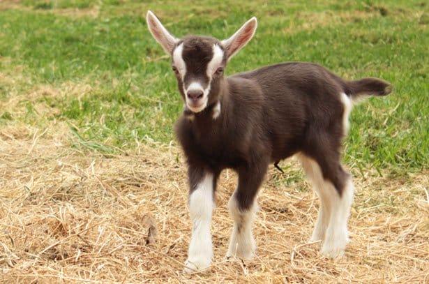 Тоггенбургская порода кіз: основні рекомендації щодо змісту