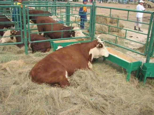 Казахська білоголова порода корів: характеристика