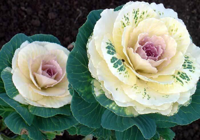 Декоративна капуста: сорти з фото і назвами