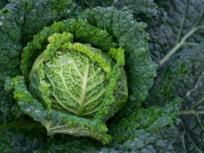 Як виростити насіння капусти самостійно?