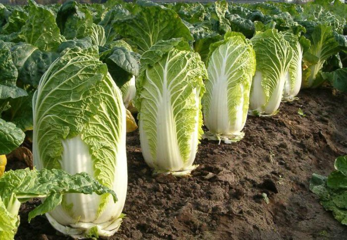 Кращі сорти пекінської капусти: огляд для різних типів клімату