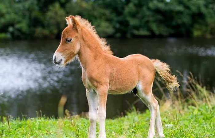 Найменший кінь у світі