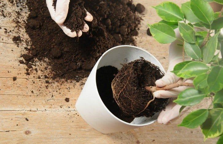 Як пересадити домашні рослини